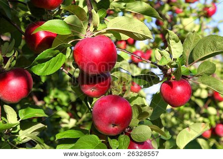 Ripe red MacIntosh apples on the tree.