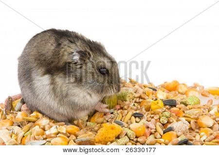 Hamster eating grains, isolated over white