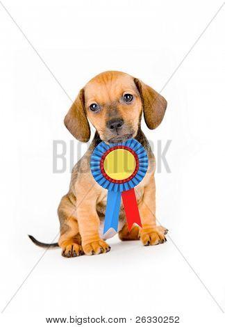 Adorable puppy van teckel met winnaar lint