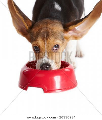 Funny beagle puppy eating from a dish, ears up, isolated on white