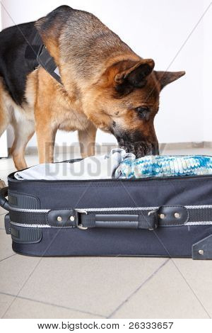 Airport canine. Dog sniffs out drugs or bomb in a luggage.
