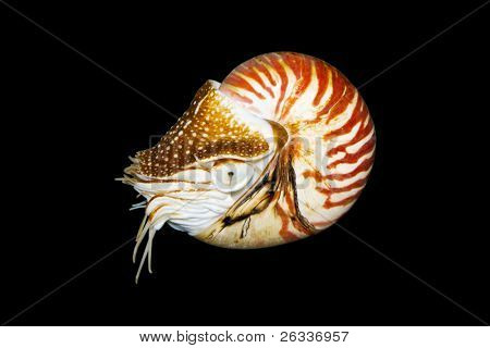Chambered Nautilus (Nautilus Pompilius)  isolated on black