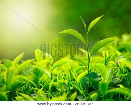 Green tea bud and fresh leaves. Tea plantations. Nature of Kerala, India