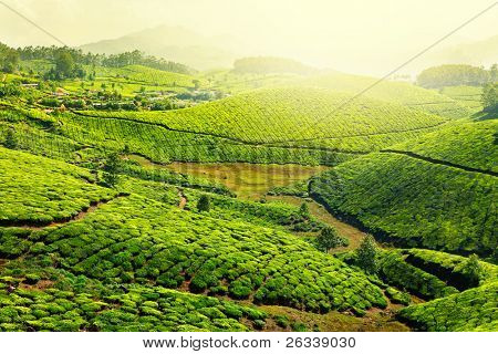 Landscape - Tea plantation fields in morning fog on sunrise. Munnar, Kerala, India