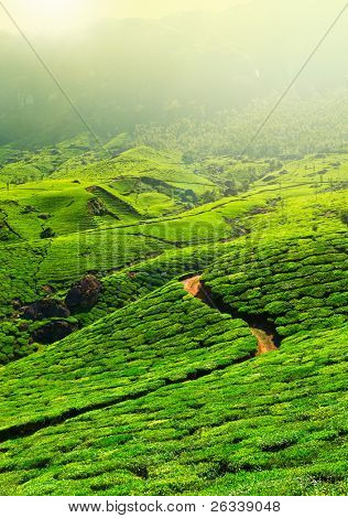 Tea plantations in morning fog. Munnar, Kerala, India