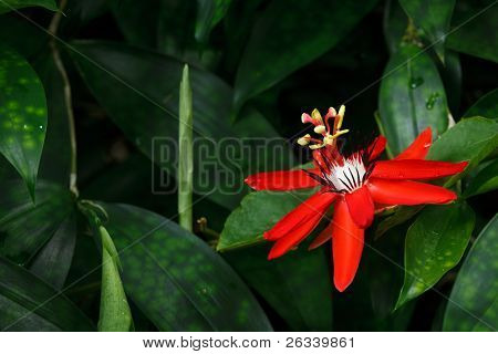 Red Passion Flower - Passiflora miniata Vanderplank
