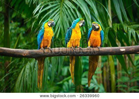 blau und gelb Papageien (Ara Ararauna), auch bekannt als der Ara blau und gold