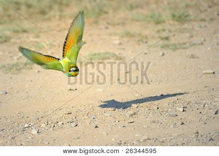 bee-eaters (Merops Apiaster)