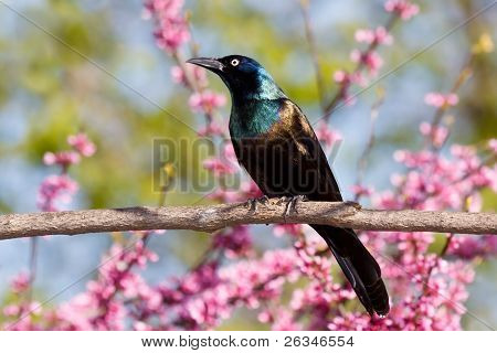 Grackle In A Redbud Tree