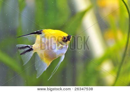 Gold Veil Angelfish