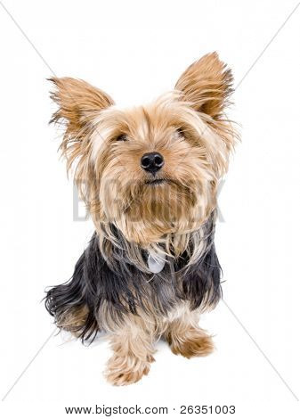 Adult Yorkshire Terrier sticking the tongue out in front of a white background