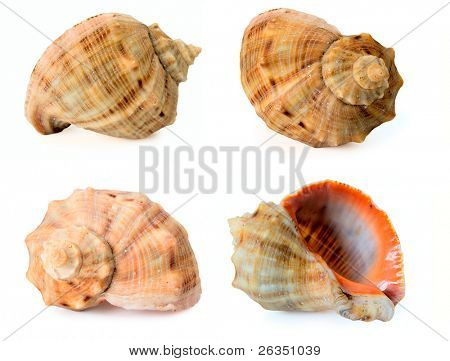 Collection of the Black Sea cockleshells -Rapana venosa (thomassiana)