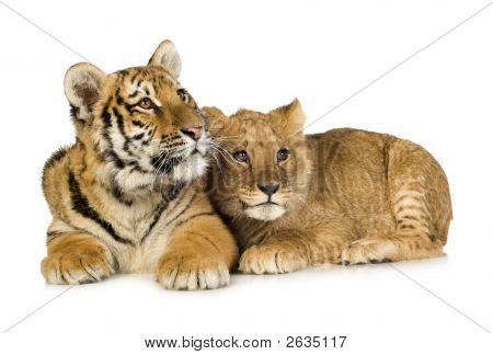 Lion & Tiger Cubs