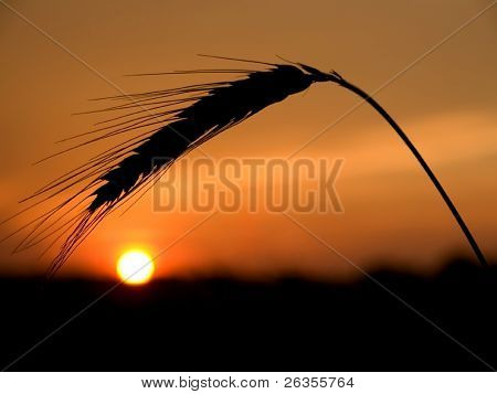 Illustration of a sunset behind a wheat field.