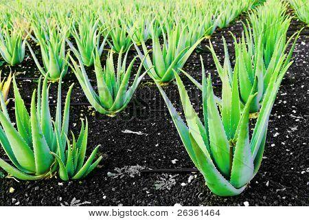 Aloe vera a plantation of herbs