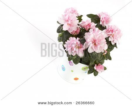 Azalea pink flowers in a pot