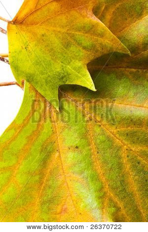 cerca de coloridas hojas de otoñales