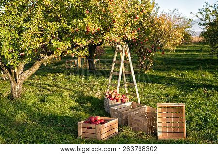 Gardening And Harvesting Fall Apple