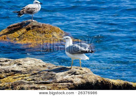 Seagulls at coastal stones.