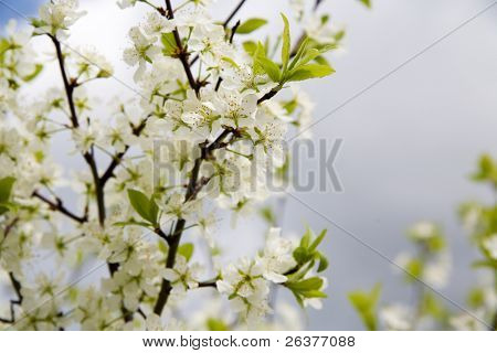 Close-up of flowers of cherry tree. Shallow DOF, focus on stamens.