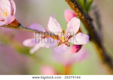 Macro of flowers of almond tree. Shallow DOF, focus on stamens.