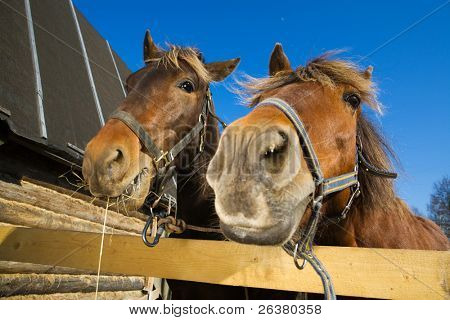 Two funny horses at farm