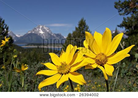 yellow flowers with the grand tetons in the background. photo taken on signal mountain, grand tetons national park, wyoming.