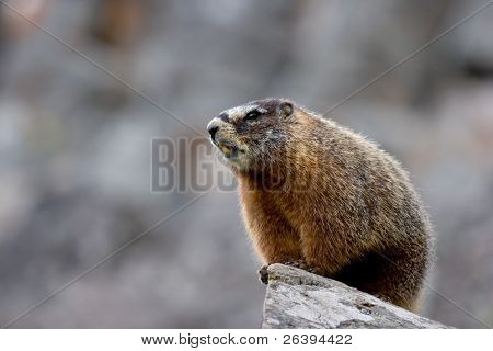yellow bellied marmot in yellowstone national park, wyoming. type of ground squirrel also commonly referred to as a rockchuck.