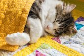Closeup Of Tabby Cat Sleeping Under Yellow Quilt Cover poster