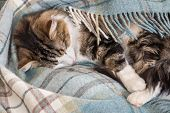 Closeup Of Tabby Cat Sleeping Under Blue Tartan Blanket poster