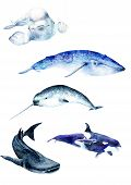 Watercolor Paintings Poster. Whale Animals: Narwhal, Blue Whale, Beluga Whale Shark, Sketch poster