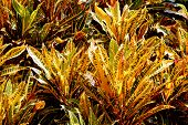 picture of crotons  - The colorful variegated foliage of tropical crotons - JPG
