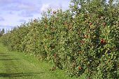 A row of apple trees loaded with bright red apples.