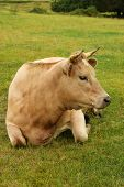 stock photo of charolais  - A beautiful Charolais cross cow relaxing in green pasture - JPG