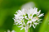 stock photo of angiosperms  - Ramsons  - JPG