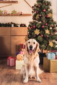 Golden Retriever Dog Sitting Near Christmas Tree With Gift Boxes poster