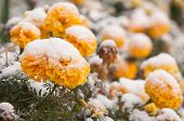 autumn blooming flowers covered with snow. frozen flowers covered with frost. poster