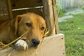 pic of sad dog  - sad dog in his wooden house - JPG