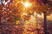 Colorful Autumn Background. Sun Through Yellow And Red Leaves Of Tree In Sunrise. Autumn Nature. Col poster