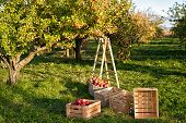 Gardening And Harvesting. Fall Apple Crops Harvesting In Garden. Apple Tree With Fruits On Branches  poster