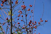 Branches With Bright Red Hips Of Dog Rose In The Cold And Clear October Sun, Rose Hip Also Called Ro poster
