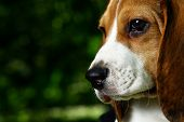 pic of puppy beagle  - funny beagle puppy in the park - JPG