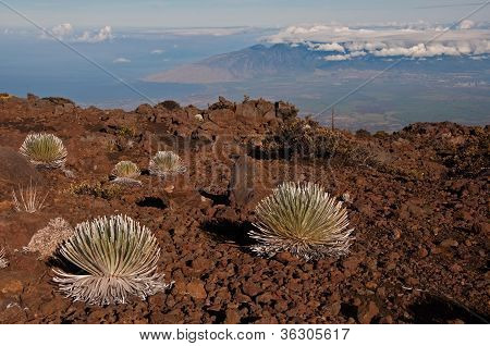 Silverswords On Haleakala Over Maui
