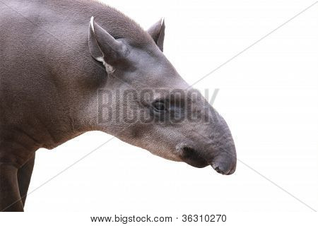 Baird's Tapir Face Closeup Shot Isolated On White. This Is The Largest Land Mammal In Central And So