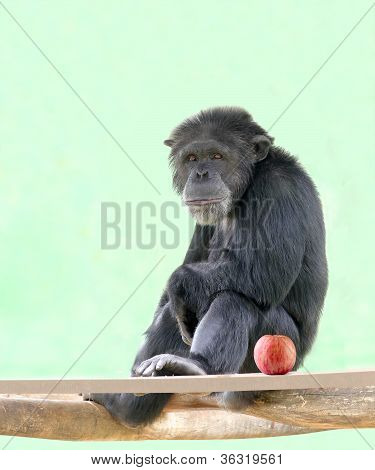 Smart Intelligent Chimpanzee Sitting In Relaxed Mood And Looking With An Apple Besides It. Chimps Ar