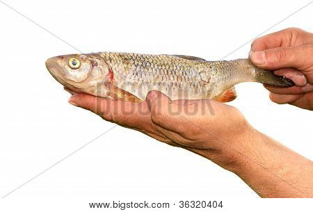 Fish Bream In Fishermen's Hands Isolated On White Background