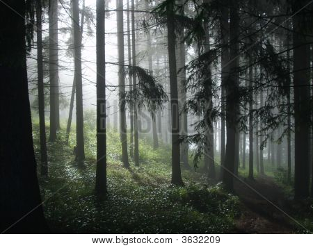 Morning In The Coniferous Forest