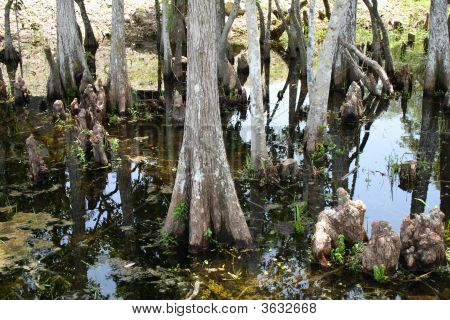 Cypress Trees On The Swamp