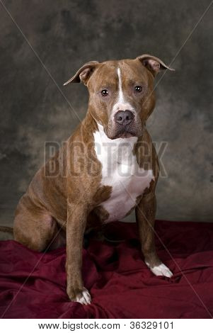 Portrait Of A Pit Bull