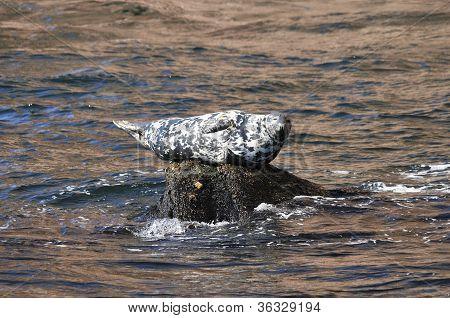 Grey seal on rock Perce Quebec Canada